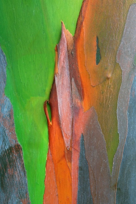 The Mindanoan gum (or rainbow eucalyptus), located in the Philippines