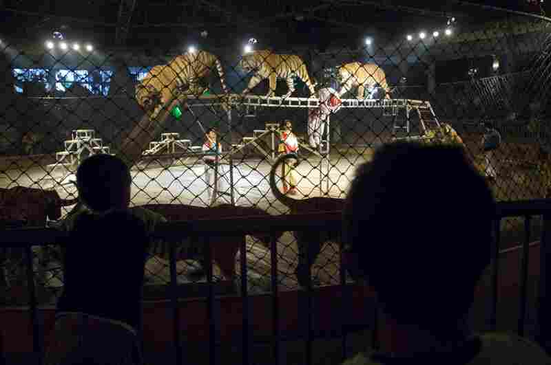 Every day, animals at the Xiongsen Bear and Tiger Park in China perform in circus-style shows. The park, which owns more than 400 bears and 1,300 tigers, claims to be working for conservation by keeping them safe in captivity. DNA tests on food from the park restaurant subsequently revealed that it was illegally serving tiger meat.