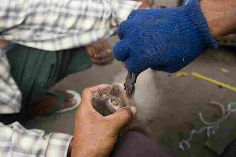 Wild-caught animals such as this young long-tailed macaque are illegally sold as pets at the Jatinegara Bird and Pet Market in Jakarta, West Java. To stop them from biting their owners, macaques have their teeth blunted.