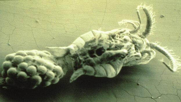 A closeup of Eurytemora, the copepod that serves as reservoir for the cholera bacterium.