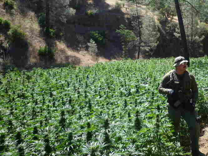 Marijuana fields in northern California