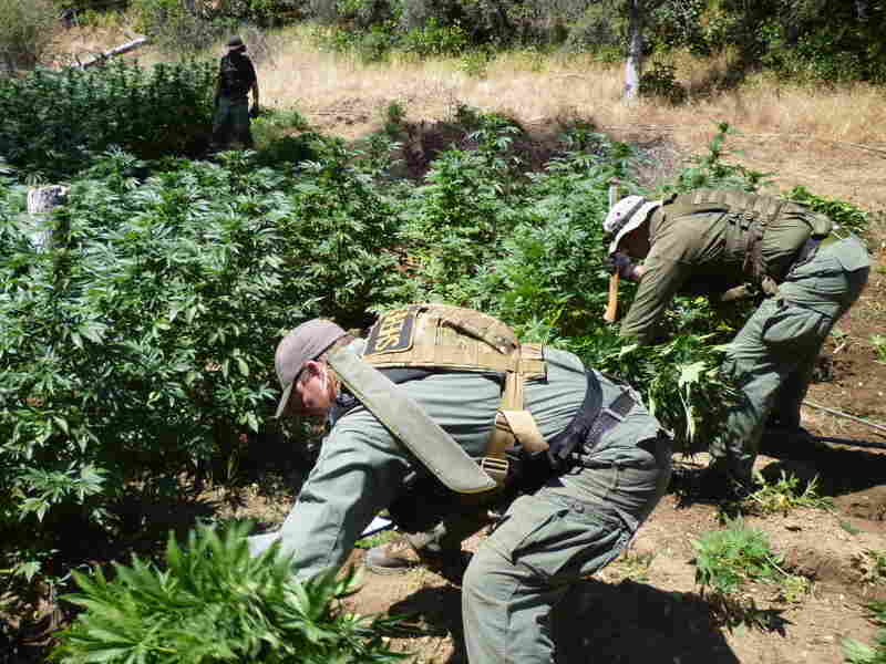 Drug agents chop down marijuana plants in northern California