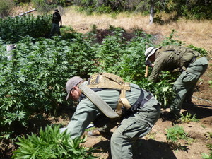Drug agents chop down marijuana plants in northern California