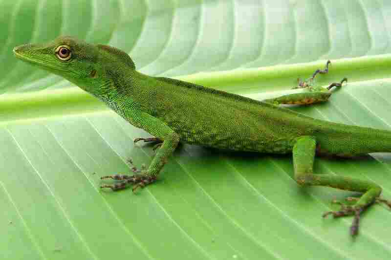 Anolis cuscoensis, photo by Steven Poe