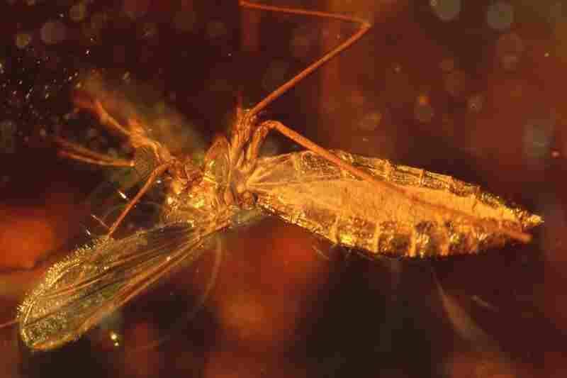 The amber that encases this fly, a member of the family Chironomidae, was made from the resin of 50 to 52 million-year-old tropical broadleaf trees.