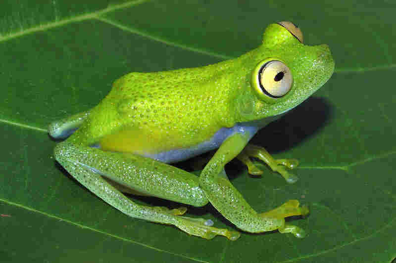 Hypsiboas liliae, male, photo by Philippe J. R. Kok