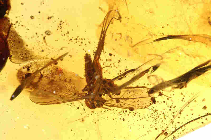 Insects like this fungus gnat have been fossilized for 50 to 52 million years in a deposit of amber excavated in India.