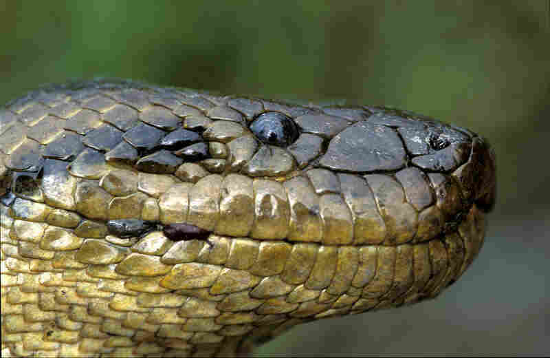 Anaconda boliviana (Eunectes beniensis), photo by Jose Maria Fernandez Diaz-Formenti