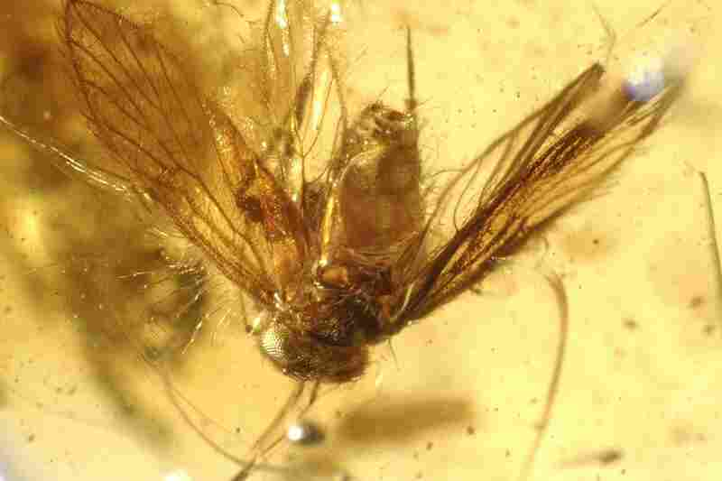 This booklouse from western India is one of 700 arthropods from 55 different genera discovered in the amber deposit.