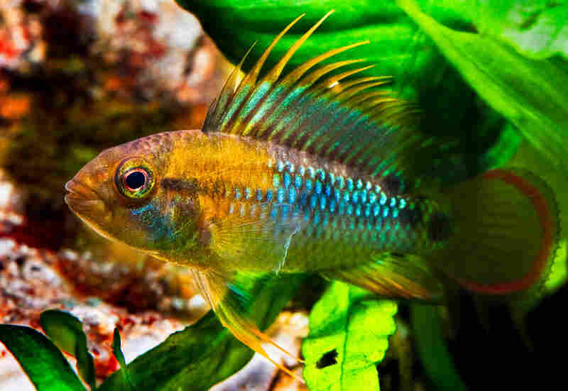 Apistogramma baenschi, photo by Kris Weinhold