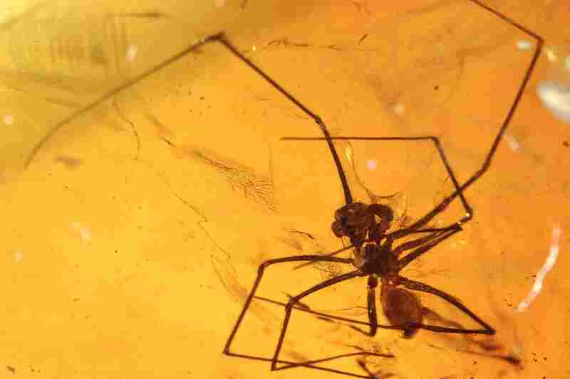 This male spider from the amber deposit is one of the oldest records of the family Pholcidae, which is still around today.