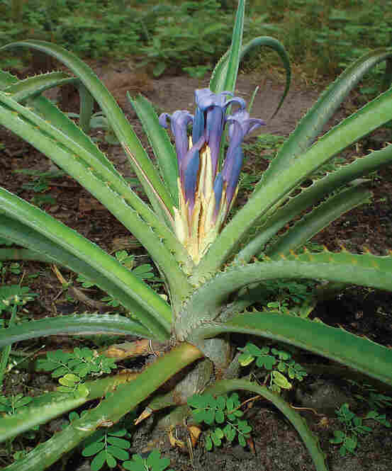 Bromelia araujoi, photo by E. Esteves Pereira