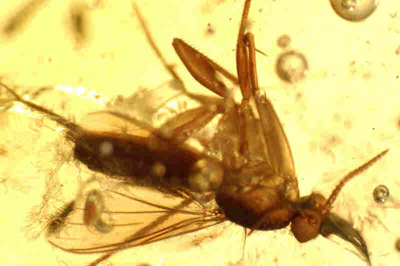 The amber included one of the earliest records of mantis.