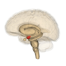 A drawing of a human brain showing the amygdala in red.