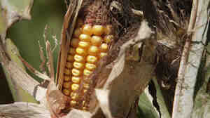 The price of corn, among other grains
