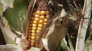The price of corn, among other grains, is on a steep rise