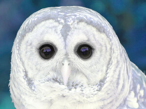 Illustration of a hoot owl. iStockphoto.com