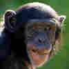 Humans' Big Brains Tied To Chimps' Immunity?