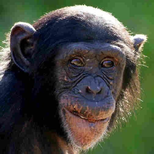 A young chimpanzee at Sydney's Taronga Zoo