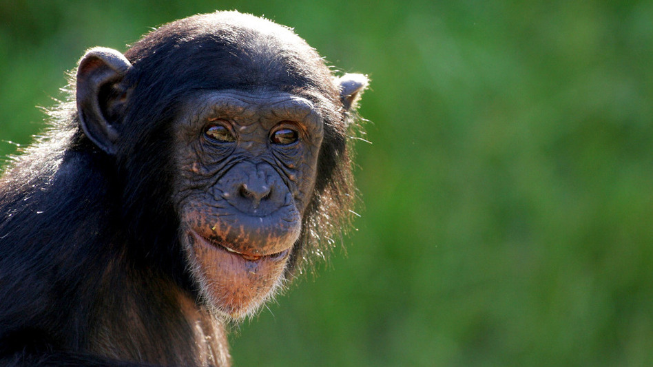 Scientists at Stanford argue that the same genes responsible for immunity in chimps may also be the reason humans have such big brains. Above, a young chimpanzee at Sydney's Taronga Zoo.
