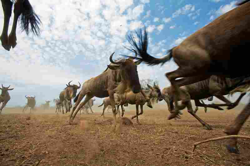 A wildebeest herd stampedes across the dusty plains of Maasai Mara National Reserve in Kenya.
