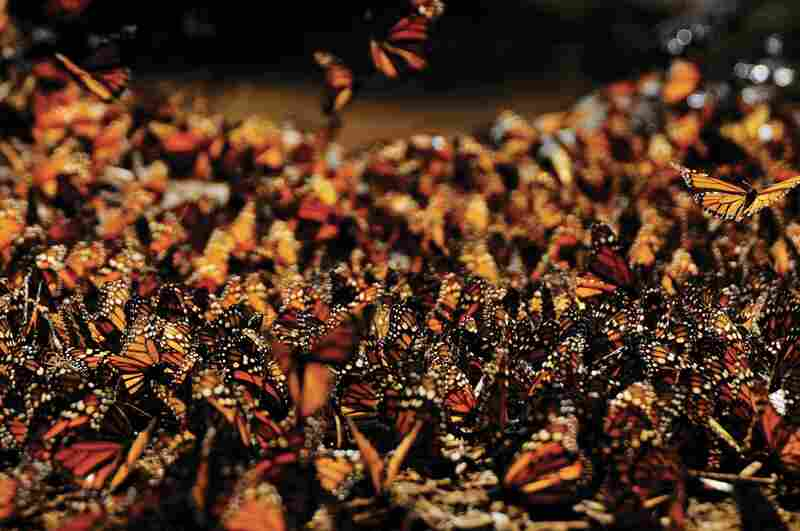 Monarch butterflies clump by the millions on oyamel trees in Mexican forests. Before migrating, they drop from the trees and begin a giant mating spree.