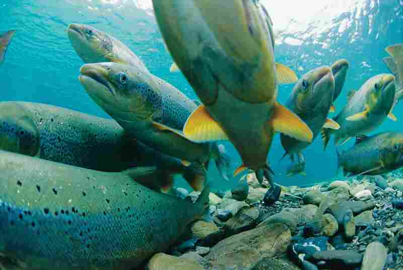 The instinct to breed drives salmon back to their birthplace, guided by their sense of smell. When they hit obstacles — like rapids and waterfalls — their determined biological drive keeps them going.