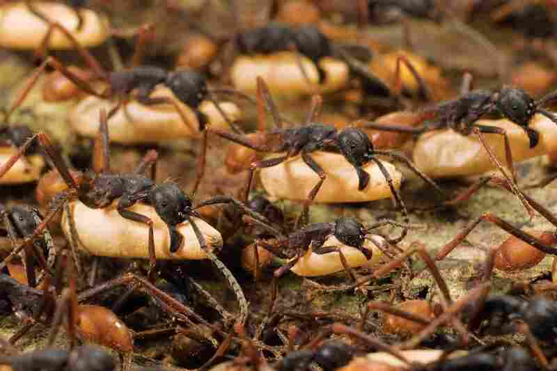 Ant colonies of 500,000 to two million individuals operate as if they are the cells of a single organism. The workers' duties include carrying the colony's pre-adult pupae while migrating unfathomable distances.