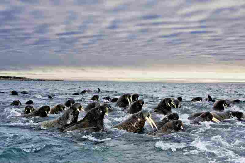 To the walrus, ice is life. The oxygen-breathing marine mammals rely on ice as a place to rest, to give birth, to nurse and to migrate. As ice disappears, their annual migration has becoming a race against time and distance, depth and disaster.