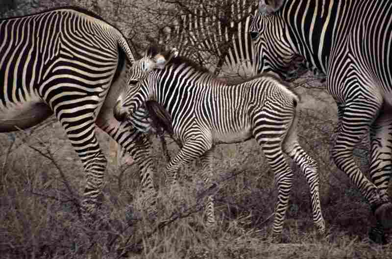 A zebra calf stays close to its mother for months, recognizing her by voice, smell and pattern of stripes.