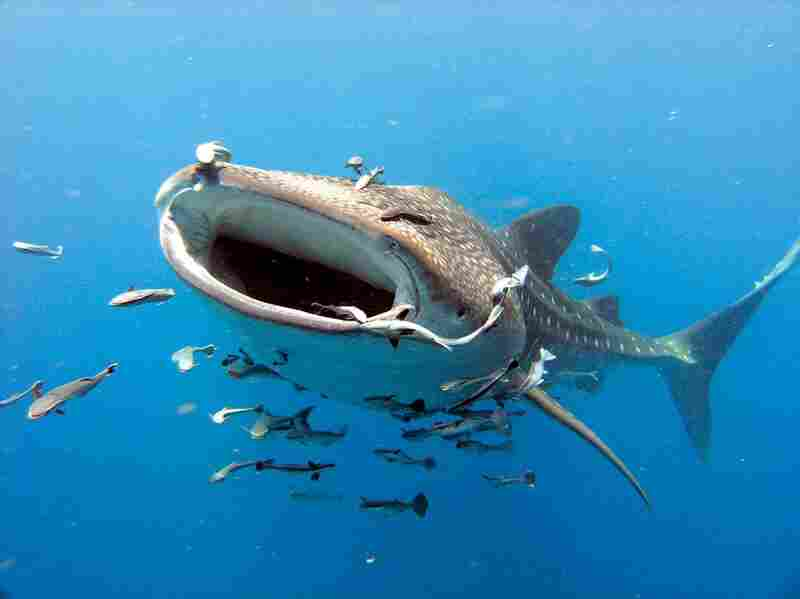 The whale shark, largest of all fish, feeds on some of the sea's smallest organisms. With their enormous mouths open, they suck in and strain out plankton and zooplankton. Whale sharks migrate to the Belize Barrier Reef to feast on snapper eggs.