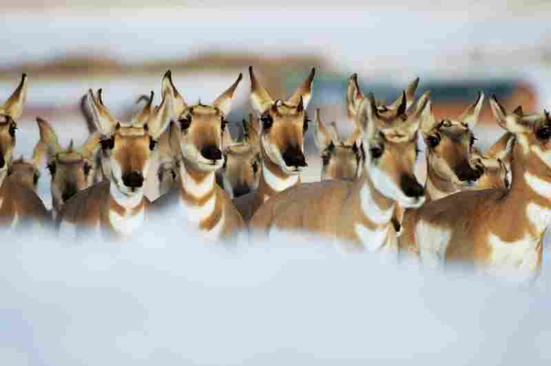 There is a dwindling, rogue band of pronghorn. An estimated 200 of them are left to make the biannual trek across northwestern Wyoming — the longest land migration made by any New World animal outside the Arctic.