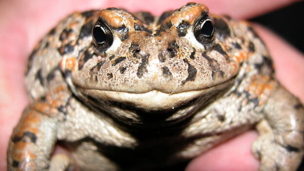 Amargosa Toad