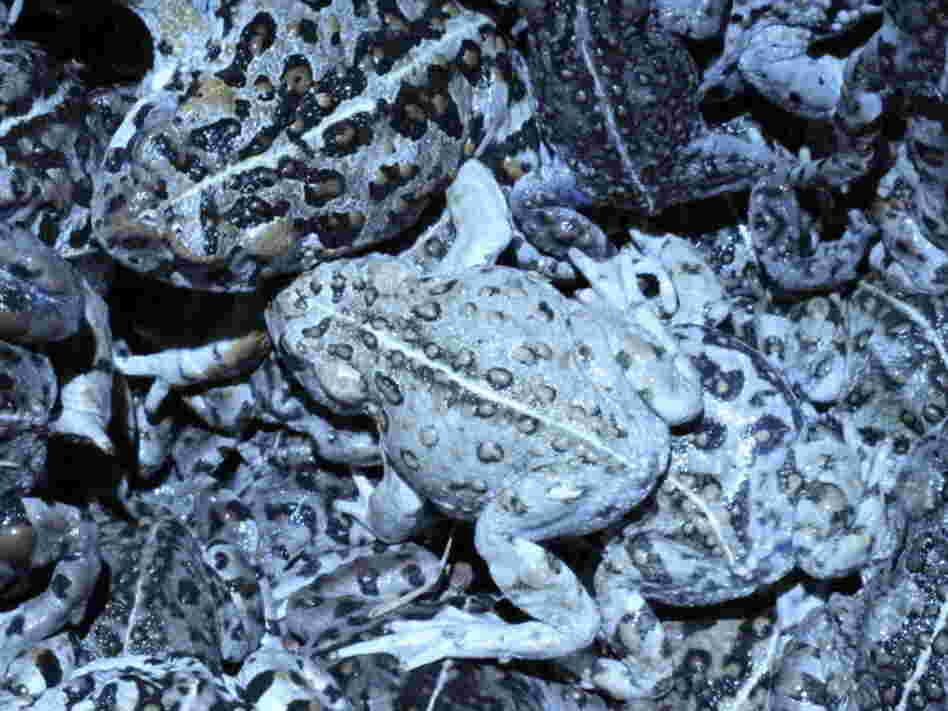 Bucket of Amargosa toads