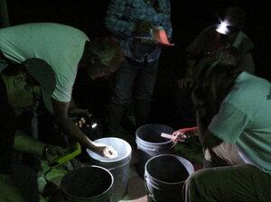 Sorting Amargosa toads in Beatty, Nev.