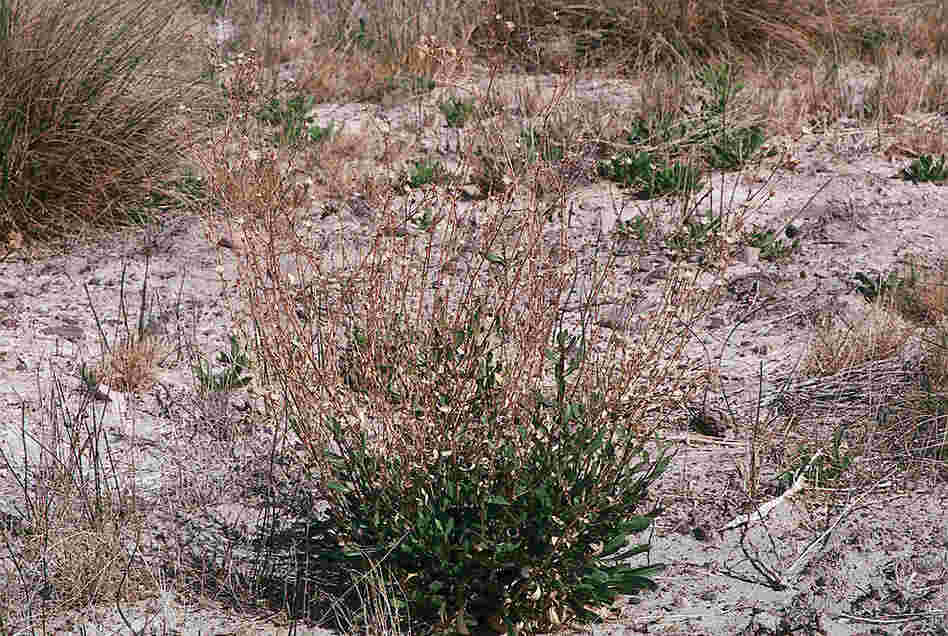 Ash Meadows gumplant. Credit: USDA