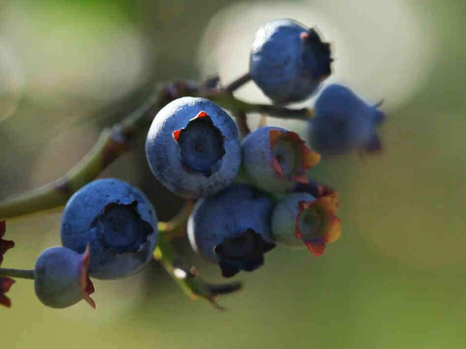 Blueberries at Butler's Orchard