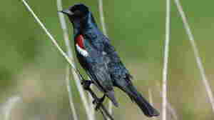 Songbirds, like this male tricolored blackbird, develop regional accents, researchers found.