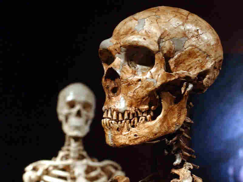 Neanderthal skeleton (right) and human skeleton