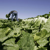 A farmworker harvests romaine lettuce in Salinas, Calif., in 2007.