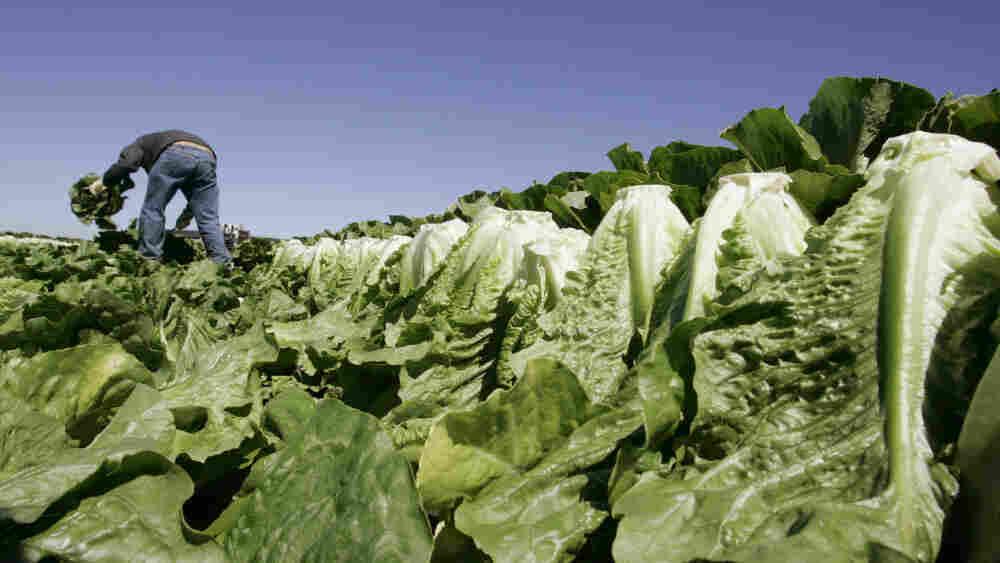 A farmworker harvests romaine lettuce in Salinas, Calif., in 2007.