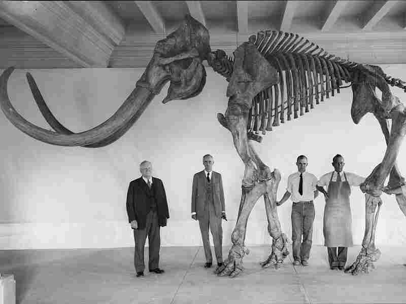 A historical photograph of a very large Columbian mammoth.