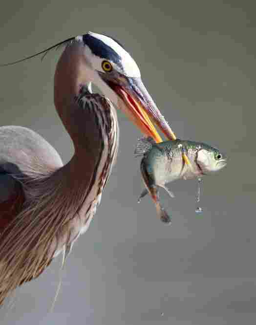 This type of heron — the largest and most widespread in North America — stands silently along the water when foraging, and strikes its prey with its bill.