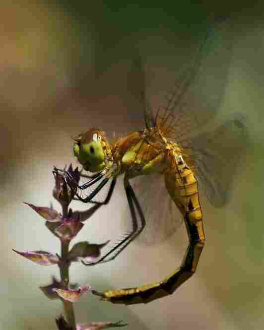 A dragonfly curling its abdomen