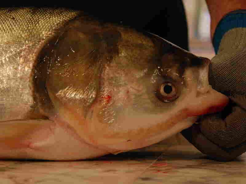 A bighead carp, a type of Asian carp