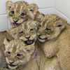 Lion cubs at the Smithsonian National Zoo