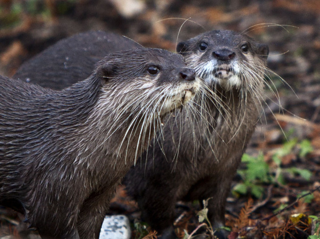 Asian Small-clawed Otters (<em>Aonyx cinerea</em>) are the smallest of the otter species and, in the wild, tend to stay together in a group of up to 15 family members.