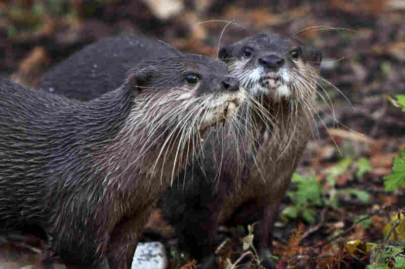 Otters at the Smithsonian National Zoo