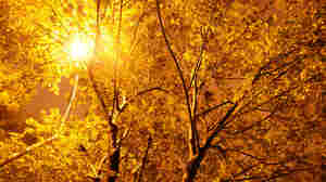 Bioluminescent Christmas Trees?