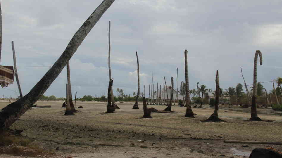 Dead coconut trees on the island of Abaiang.